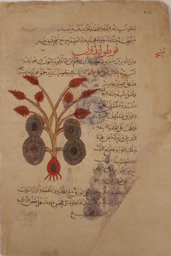 Folio from a Materia Medica of Dioscorides