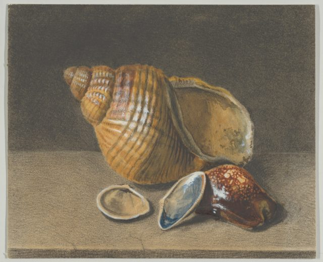 A Cowrie, and a Larger and Two Smaller Shells