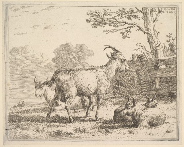 Four goats; at the back a nanny goat lies on the ground, in the middle a billy goat stands, in the front two kids lie on the ground, a fence and tree beyond