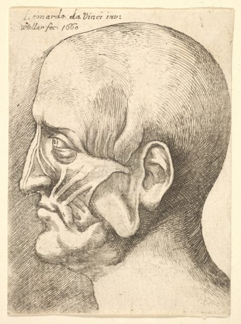 Ecorche head of a man in profile to left