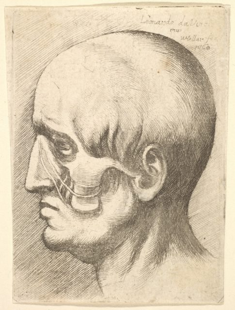 Male head in profile to left with muscles exposed