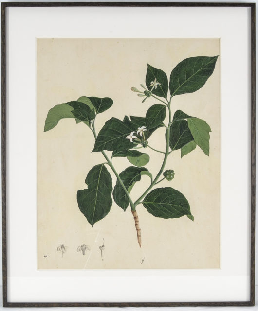 Botanical Study of Indian Mulberry (Morinda citrifolia)