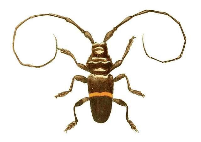 Illustrations of Exotic Entomology Trachyderes Succinctus