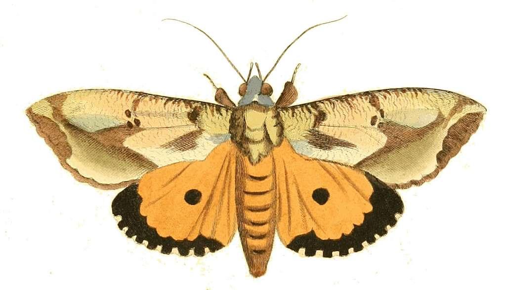 Illustrations of Exotic Entomology Triphaena Materna