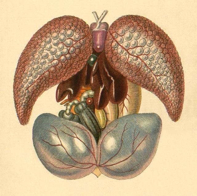 Frog internal organs