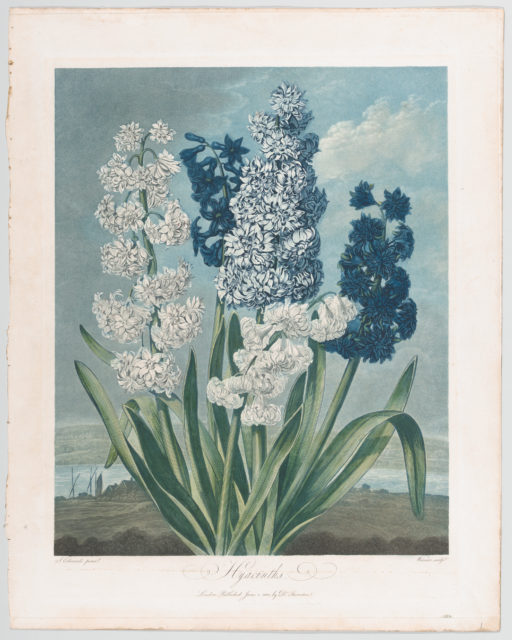 """Hyacinths, from """"The Temple of Flora, or Garden of Nature"""""""