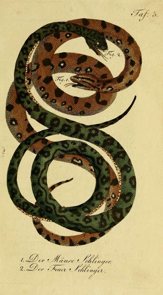 Herrn de la Cepede's Naturgeschichte der Amphibien, oder der enerlegenden vierfussigen Thiere und der Schlangen (10423861973)