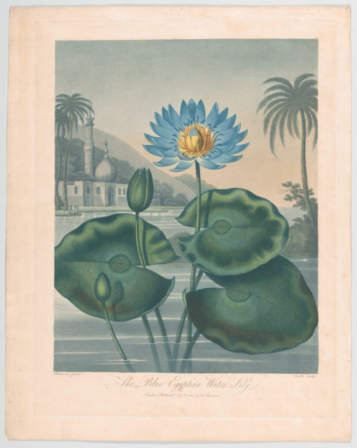 """The Blue Egyptian Water Lily, from """"The Temple of Flora, or Garden of Nature"""""""