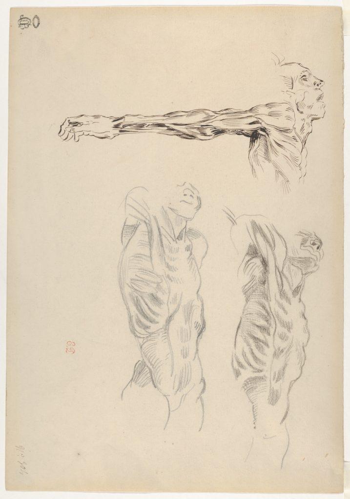 Écorché: Three Studies of a Male Cadaver