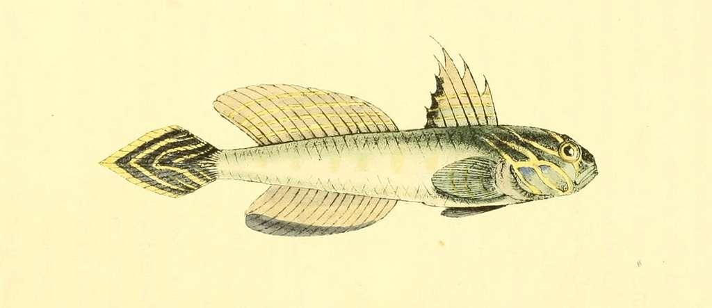 Zoological Illustrations Volume I Plate 12