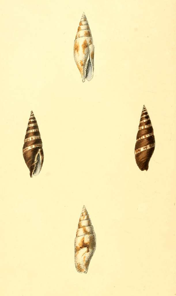 Zoological Illustrations Volume I Plate 18