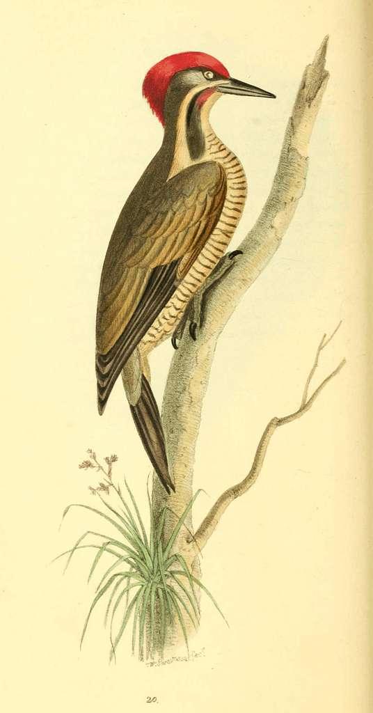 Zoological Illustrations Volume I Plate 20