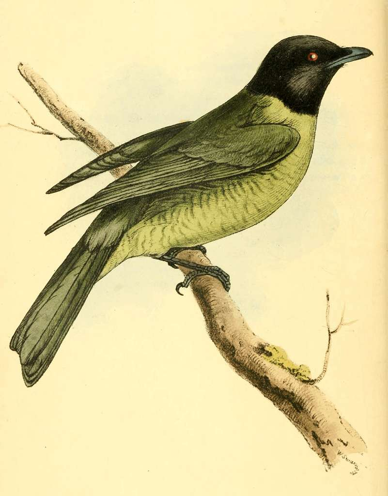 Zoological Illustrations Volume I Plate 25