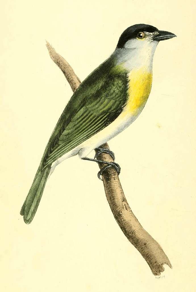 Zoological Illustrations Volume I Plate 32