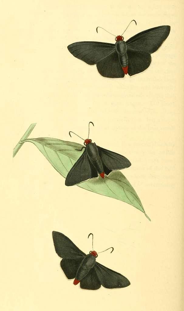 Zoological Illustrations Volume I Plate 33