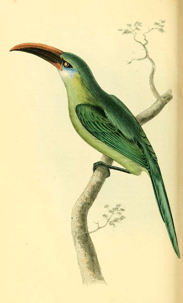 Zoological Illustrations Volume I Plate 44