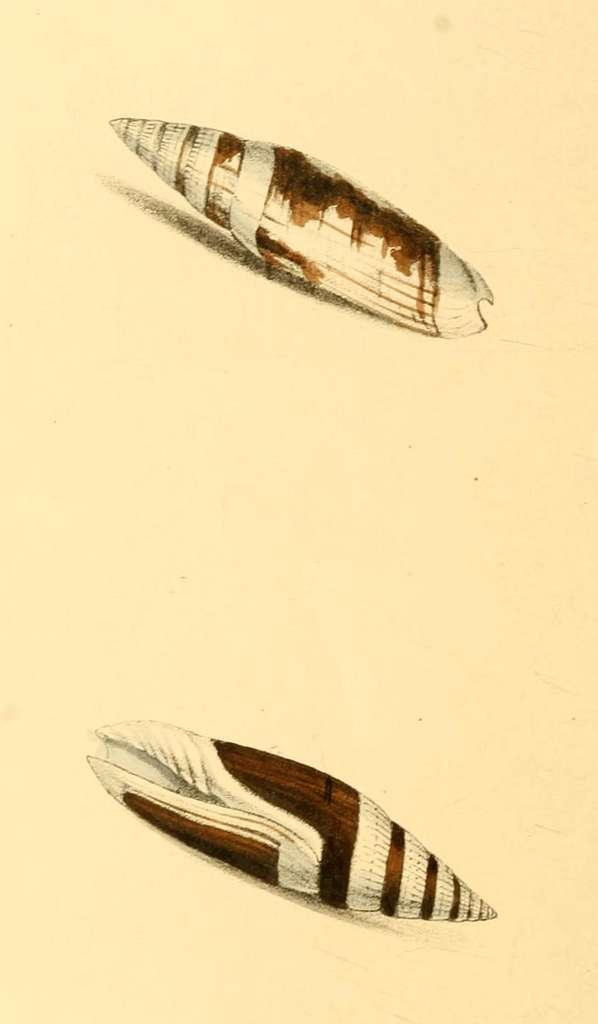 Zoological Illustrations Volume I Plate 48