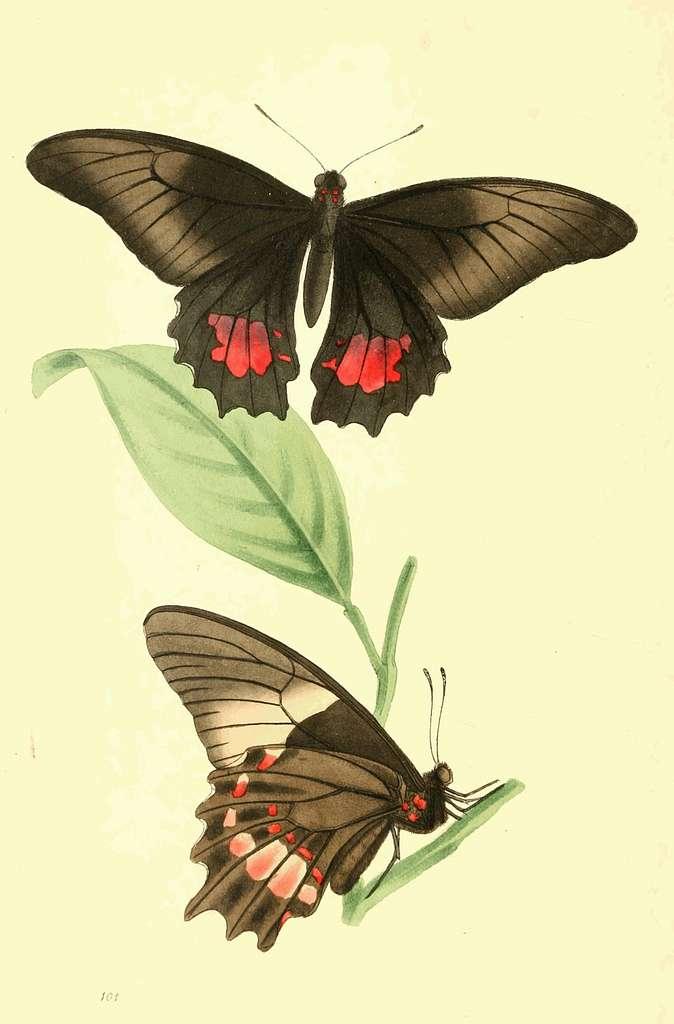 Zoological Illustrations Volume II Plate 101