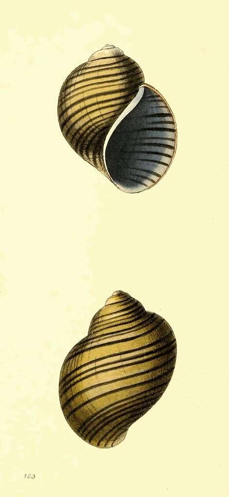 Zoological Illustrations Volume II Plate 103