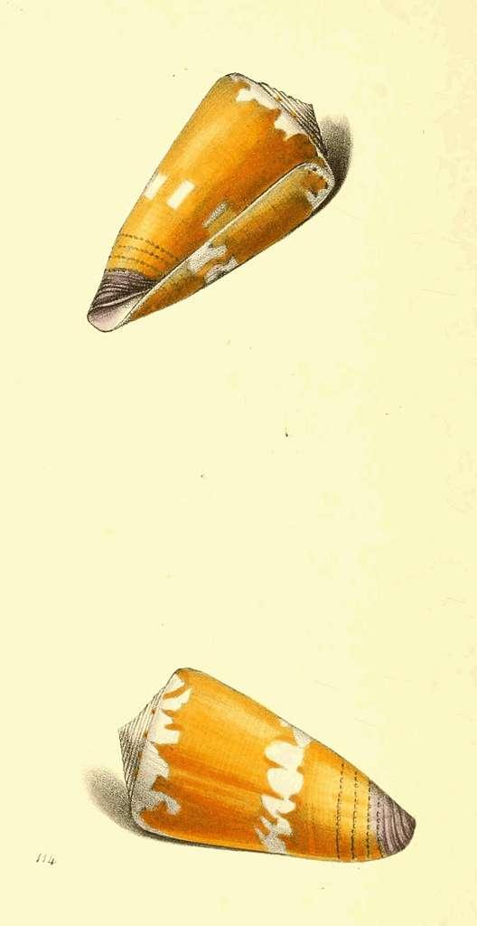 Zoological Illustrations Volume II Plate 114