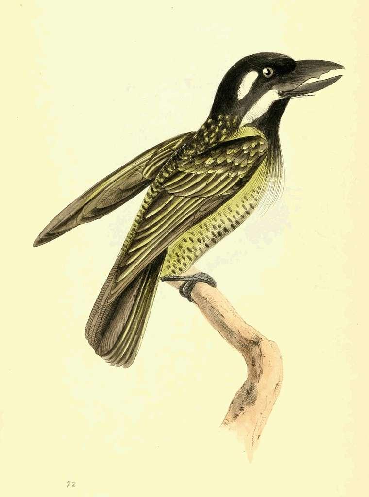 Zoological Illustrations Volume II Plate 72