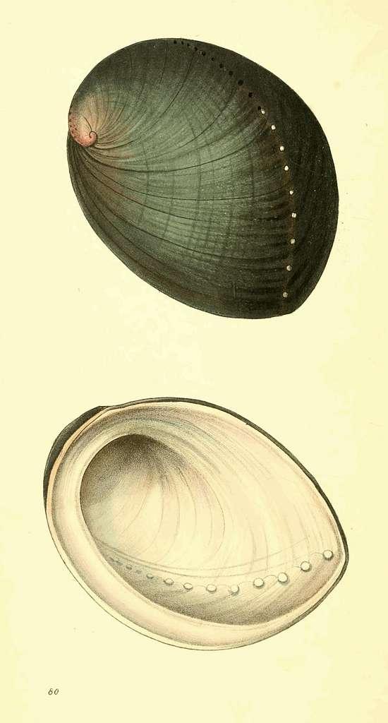 Zoological Illustrations Volume II Plate 80
