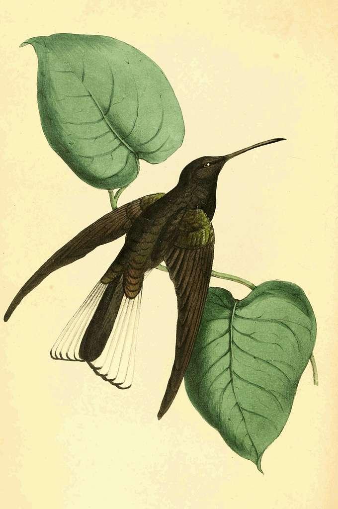 Zoological Illustrations Volume II Plate 82