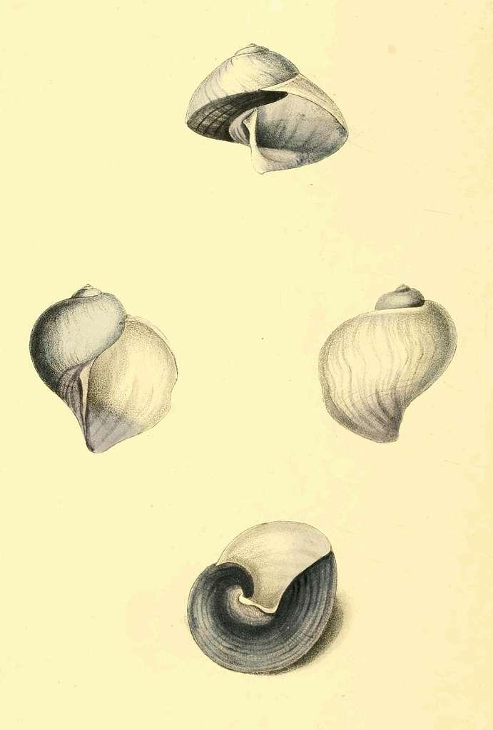 Zoological Illustrations Volume II Plate 85