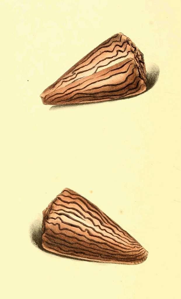 Zoological Illustrations Volume II Plate 86