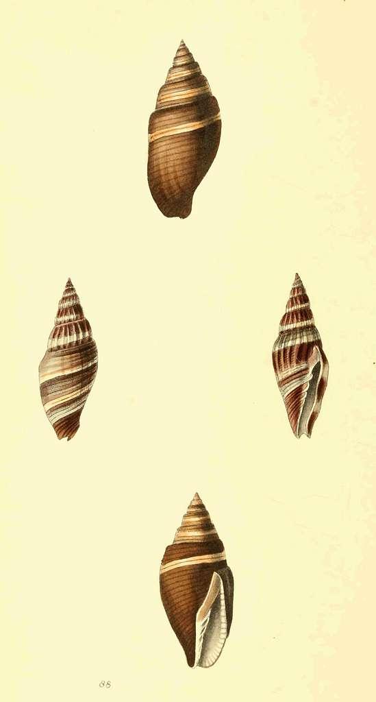 Zoological Illustrations Volume II Plate 88