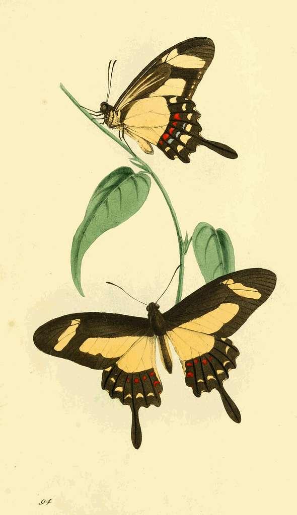 Zoological Illustrations Volume II Plate 94