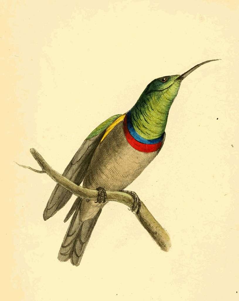 Zoological Illustrations Volume II Plate 95