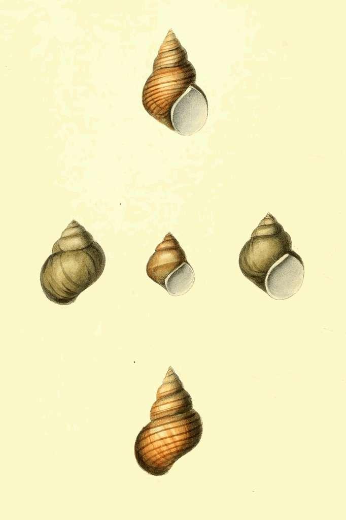 Zoological Illustrations Volume II Plate 98