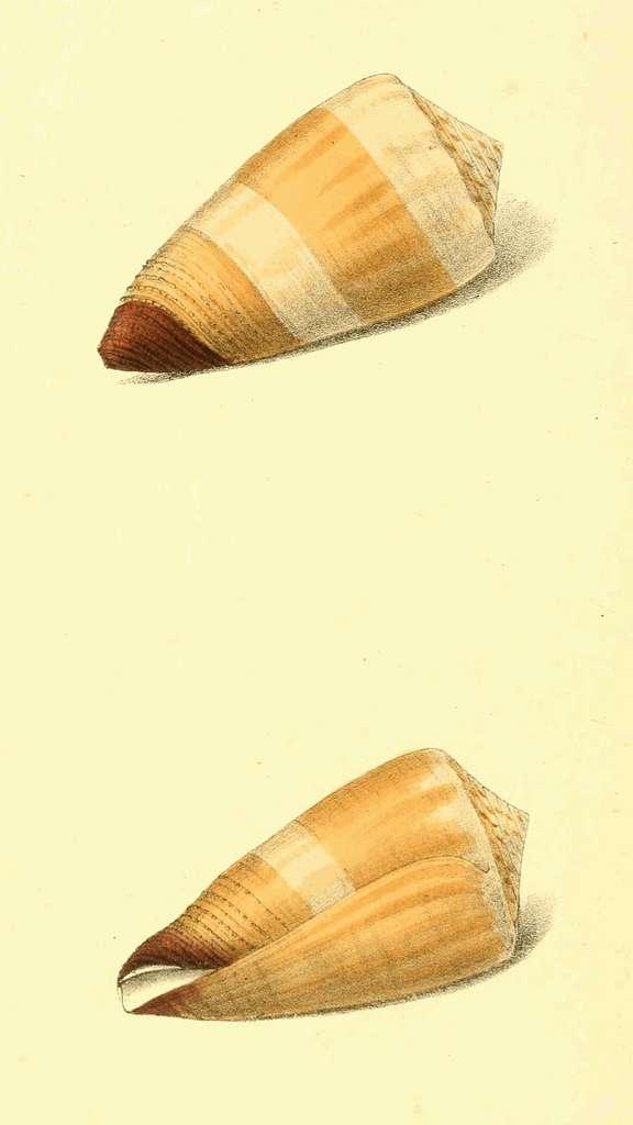 Zoological Illustrations Volume III Plate 126