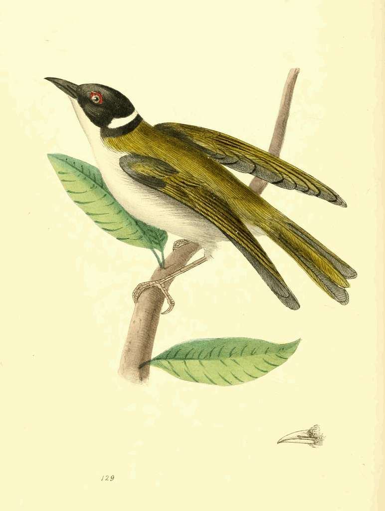 Zoological Illustrations Volume III Plate 129