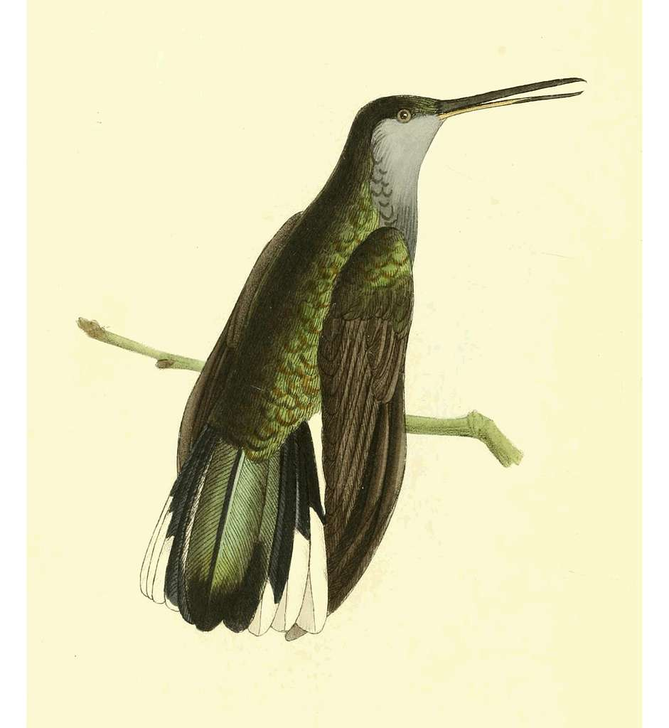 Zoological Illustrations Volume III Plate 130