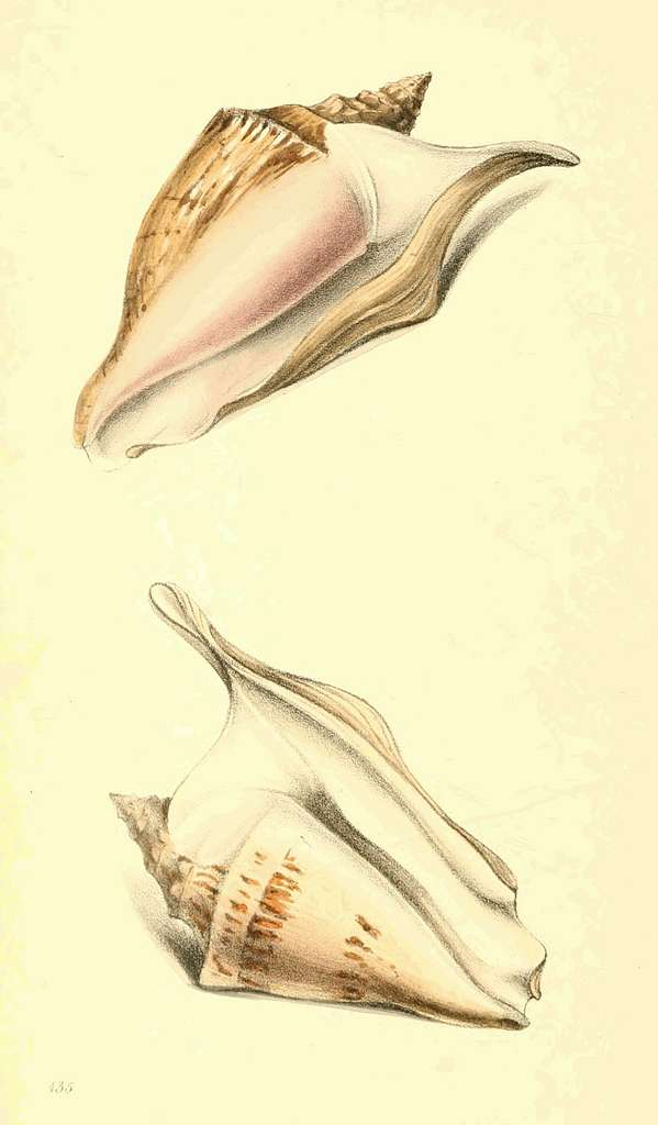 Zoological Illustrations Volume III Plate 135