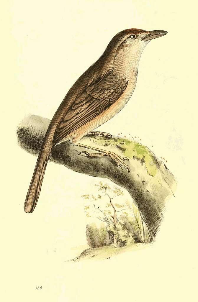 Zoological Illustrations Volume III Plate 138