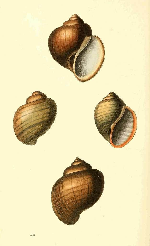 Zoological Illustrations Volume III Plate 143