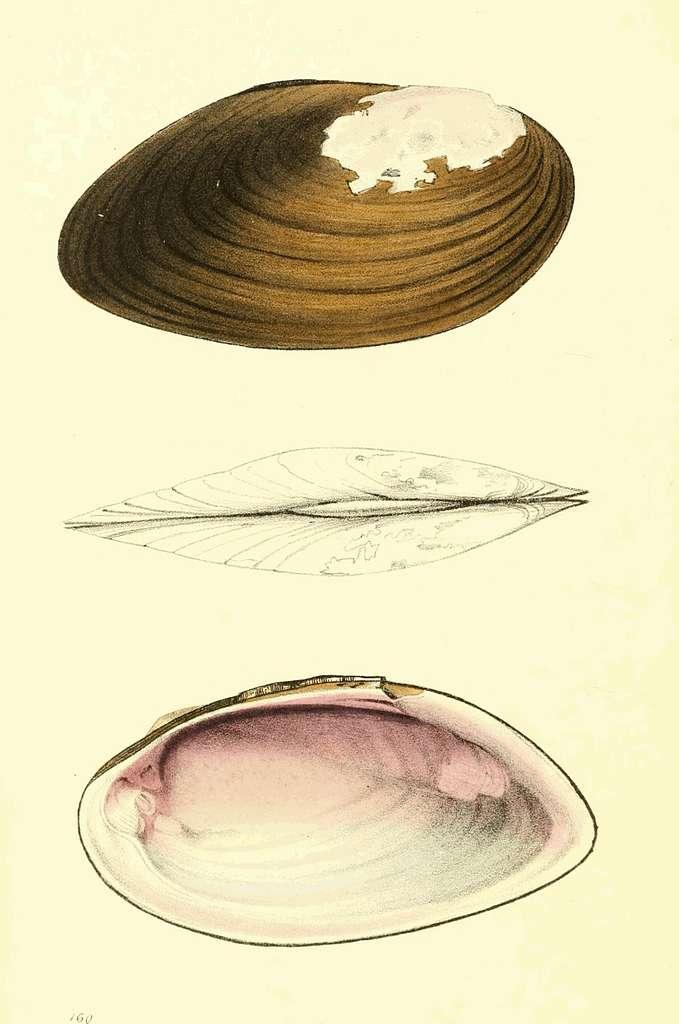 Zoological Illustrations Volume III Plate 160
