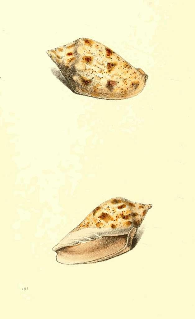 Zoological Illustrations Volume III Plate 161
