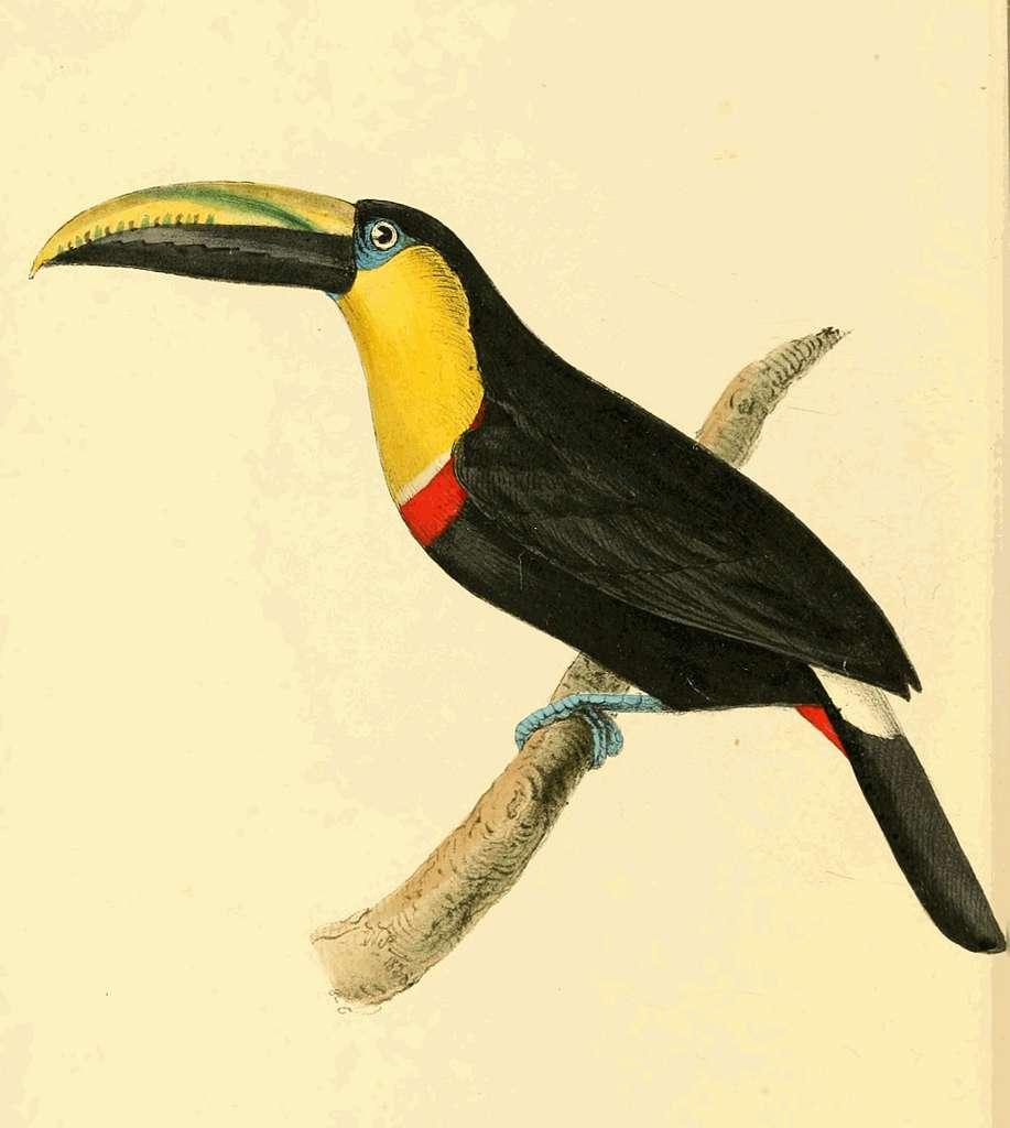 Zoological Illustrations Volume III Plate 168