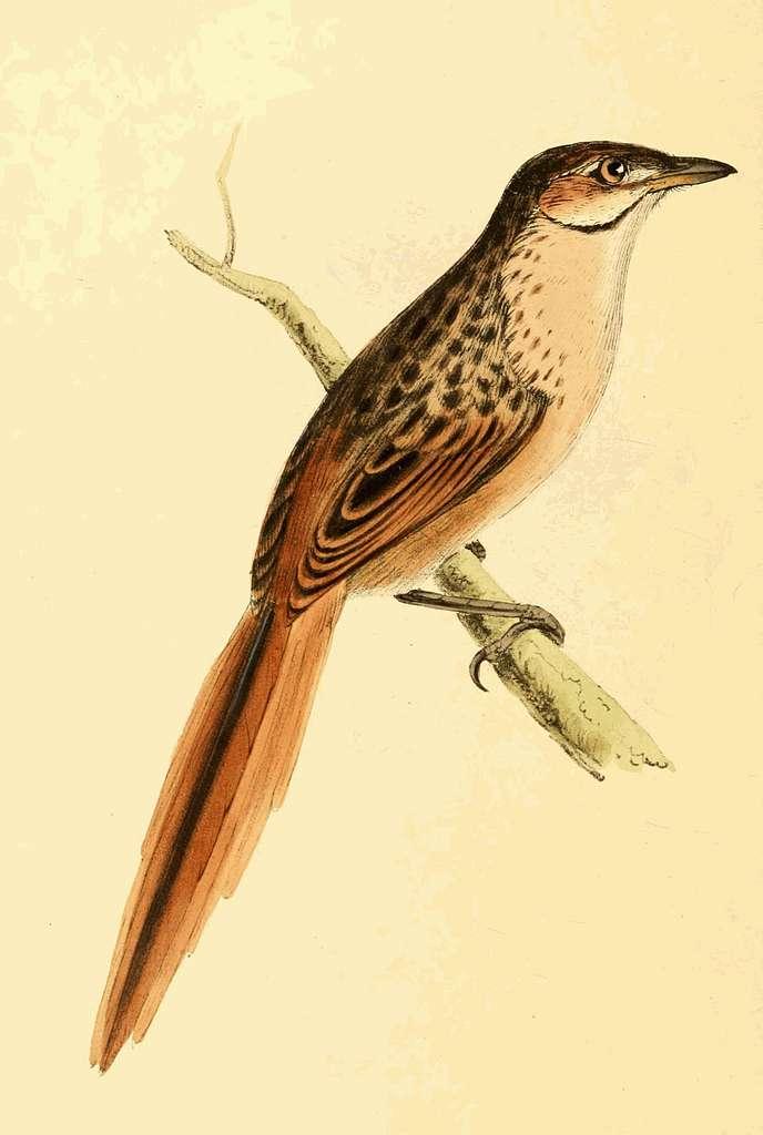 Zoological Illustrations Volume III Plate 170