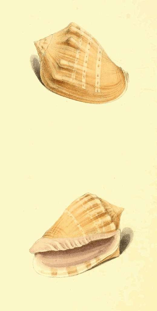 Zoological Illustrations Volume III Plate 181