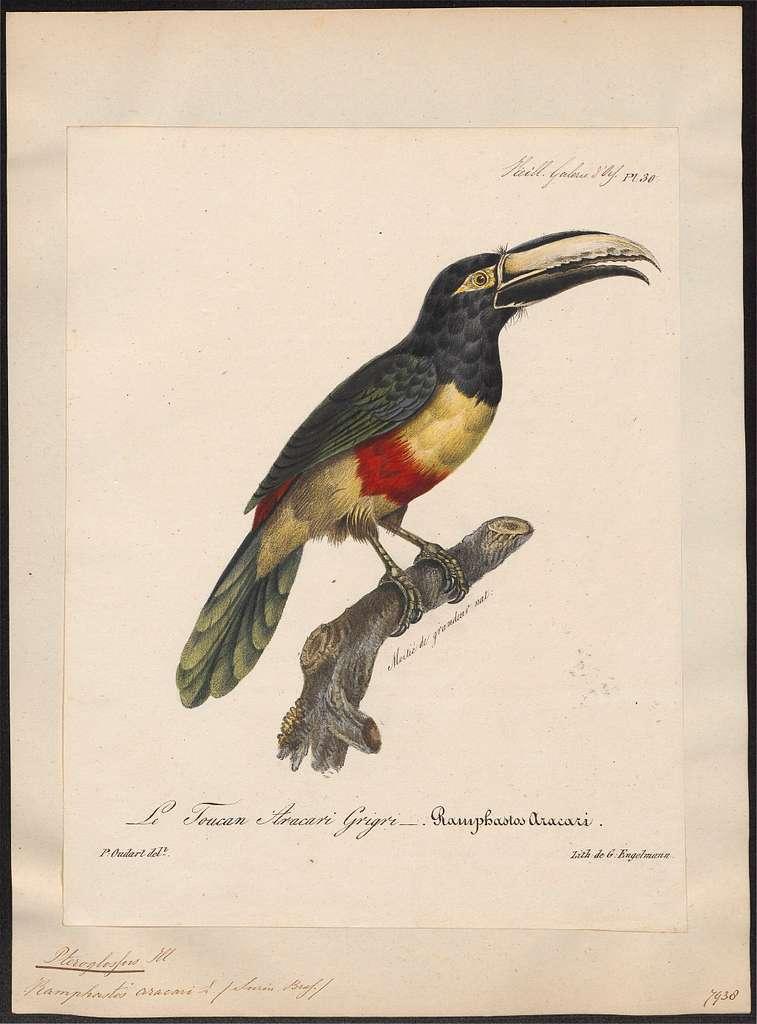 Pteroglossus aracari - 1825-1834 - Print - Iconographia Zoologica - Special Collections University of Amsterdam - UBA01 IZ19300238