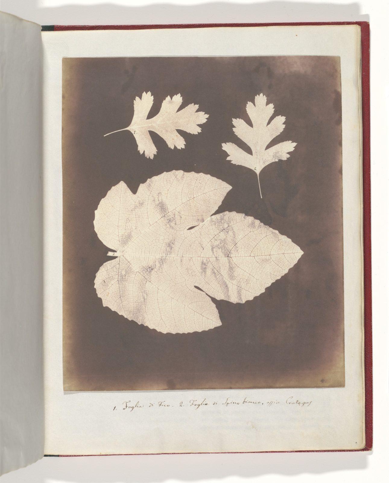1. Foglia di Fico. 2. Foglia di Spino bianco, ossia Crataegus