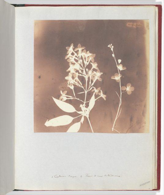 Heliophila