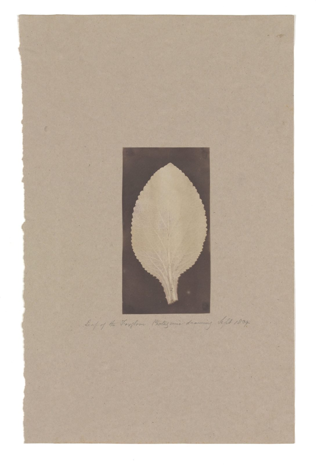 Leaf of the Foxglove