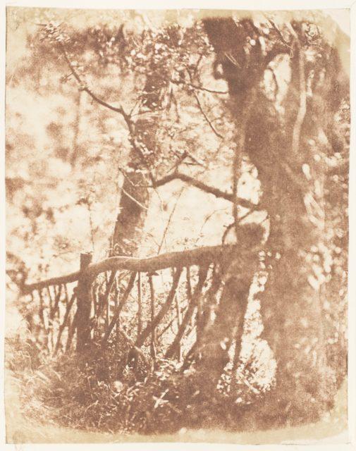 Tree at Colinton