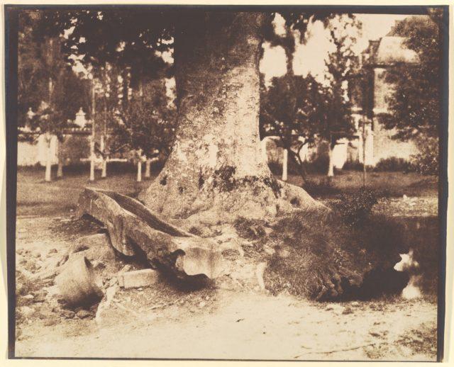 [The Large Tree at La Verrerie, Romesnil]